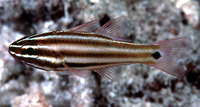 Apogon angustatus, Broadstriped cardinalfish: