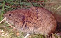 Microtus agrestis - Field Vole