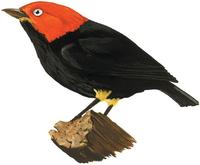 Image of: Pipra mentalis (red-capped manakin)