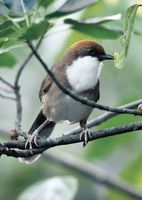 Rufous-crowned Laughingthrush - Garrulax ruficeps