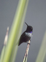 Black-chinned Hummingbird (Archilochus alexandri) photo