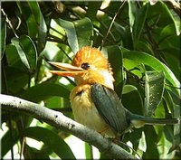 Yellow-billed Kingfisher - Syma torotoro