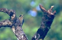 Golden-naped Woodpecker - Melanerpes chrysauchen
