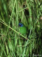 Blue-faced Parrotfinch - Erythrura trichroa