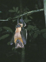 Eidolon helvum - straw-coloured fruit bat