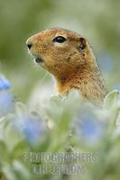 ...Arctic Ground Squirrel ( Spermophilus parryii ) alert to danger , Denali National Park , Alaska