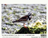 꼬까도요(Arenaria interpres)  (Ruddy Turnstone)