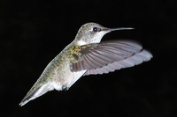 : Archilochus colubris; Ruby-throated Hummingbird