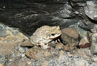: Bufo punctatus; Red-spotted Toad