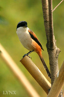 Rufous-backed Shrike 棕背伯勞