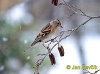 Photo of pěnkava jikavec, Fringilla montifringilla, Brambling, Bergfink