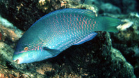 Scarus globiceps, Globehead parrotfish: fisheries, aquarium