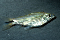 Curimatopsis macrolepis, Shinyscaled curimata: fisheries, aquarium