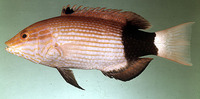 Bodianus macrourus, Black-banded hogfish: fisheries