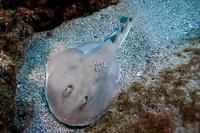 Image of: Rhinobatidae (guitarfishes)