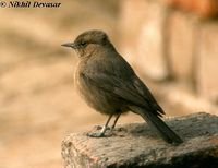 Brown Rock-chat - Cercomela fusca