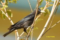 Red-rumped Cacique - Cacicus haemorrhous