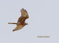 Eastern marsh harrier C20D 02810.jpg