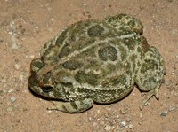 : Bufo cognatus; Great Plains Toad