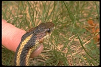 : Thamnophis sirtalis infernalis; California Red-sided Garter Snake