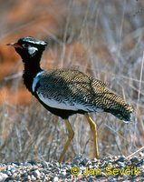 Photo of drop Afrotis afraoides, White Winged Black Korhaan