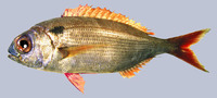 Pagellus bogaraveo, Blackspot seabream: fisheries, gamefish