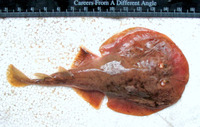 Narcine timlei, Blackspotted numbfish: aquarium