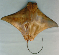 Rhinoptera brasiliensis, Ticon cownose ray: fisheries