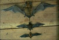 ...Image of: Eumops perotis (western bonneted bat), Promops nasutus (brown mastiff bat), Molossops