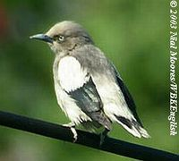 White-shouldered Starling - Sturnus sinensis
