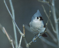 Tufted Titmouse (Baeolophus bicolor) photo