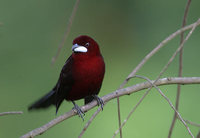 Silver-beaked Tanager (Ramphocelus carbo) photo