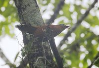Black-bellied Cuckoo (Piaya melanogaster) photo