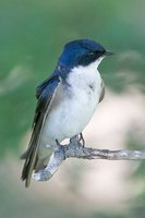 Chilean Swallow - Tachycineta meyeni