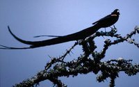 Long-tailed Widowbird - Euplectes progne