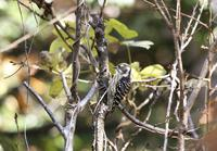 쇠딱따구리 [Japanese pygmy woodpecker]