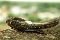 Apus pacificus Fork-tailed Swift ts