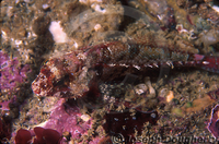 : Orthonopias triacis; Bluntnosed Sculpin