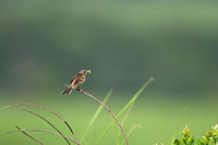 [ホオアカ]Gray-headed Bunting / Emberiza fucata /16cm