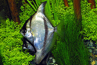 Monodactylus sebae, African moony: fisheries, aquarium
