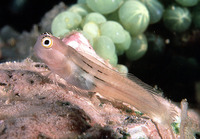 Ecsenius aequalis, Fourline blenny: aquarium