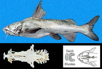 Notarius osculus, Chomba sea catfish: fisheries