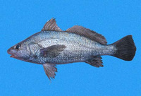 Ophioscion scierus, Point-Tuza croaker: fisheries