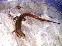 Eurycea wilderae - Blue Ridge Two-lined Salamander
