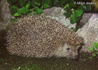 Erinaceus concolor - Eastern European Hedgehog