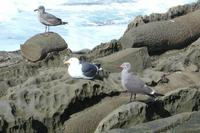 Image of: Larus occidentalis (western gull), Larus heermanni (Heermann's gull)