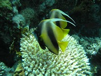 Heniochus intermedius - Red Sea Bannerfish
