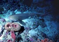 Image of: Stegostoma fasciatum (zebra shark)