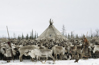 Photo: Reindeer Herd