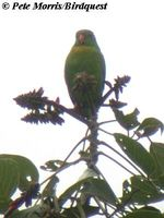 Yellow-throated Hanging Parrot - Loriculus pusillus
